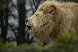 Lion_feule