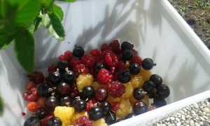 recolte_fruits_rouges