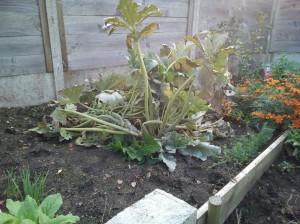 plant_courgettes