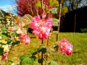 groseillier_fleurs