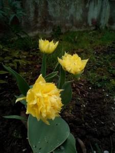 tulipe_jaune