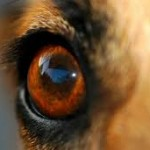 yeux_chiens